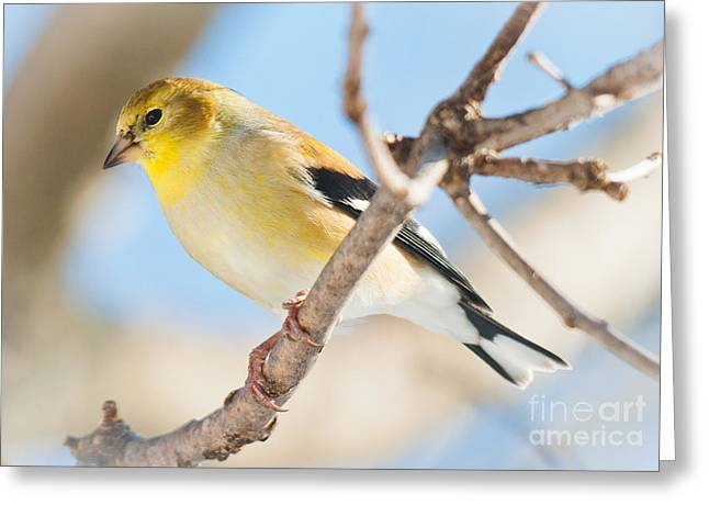 Winter Finch Greeting Card