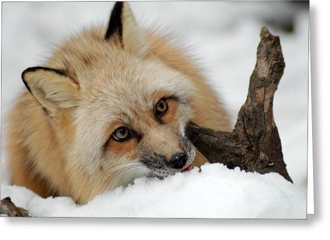 Winter Fox 2 Greeting Card
