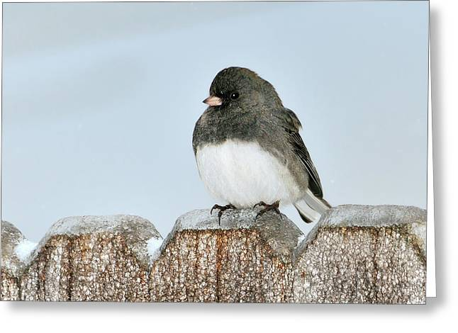 Winter Junco Greeting Card by Betty LaRue