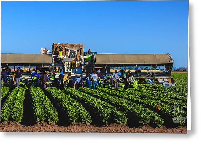 Winter Lettuce Harvest Greeting Card by Robert Bales