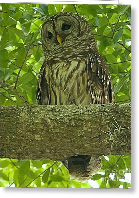 Winter Park Florida Owl Greeting Card by Adam Jewell