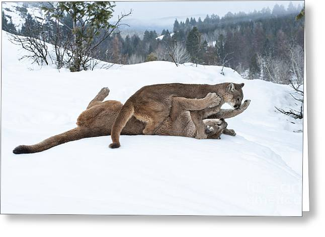 Puma Concolor Greeting Cards - Winter Playground Greeting Card by Sandra Bronstein