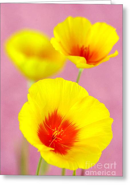 Winter Poppies Greeting Card by Douglas Taylor