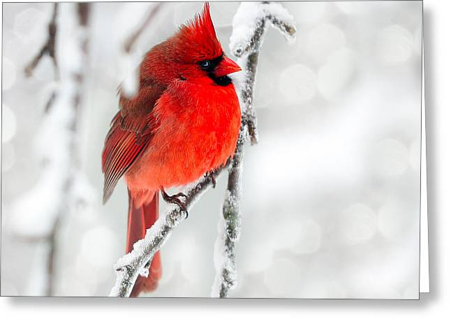 Winter Red Greeting Card by Jaki Miller