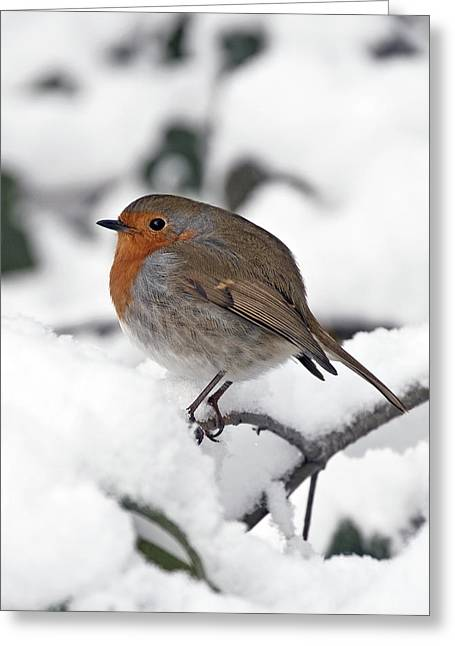 Winter Robin Greeting Card