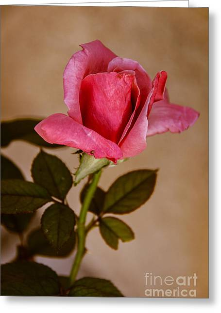 Winter Rose Bud Greeting Card by Robert Bales