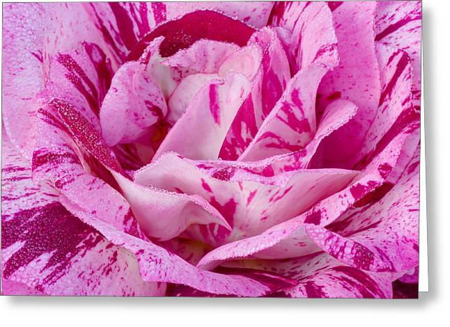 Greeting Card featuring the photograph Winter Rose  by Heidi Smith