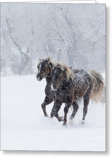 Winter Run For Rocky Mountain Horses Greeting Card by Carol Walker