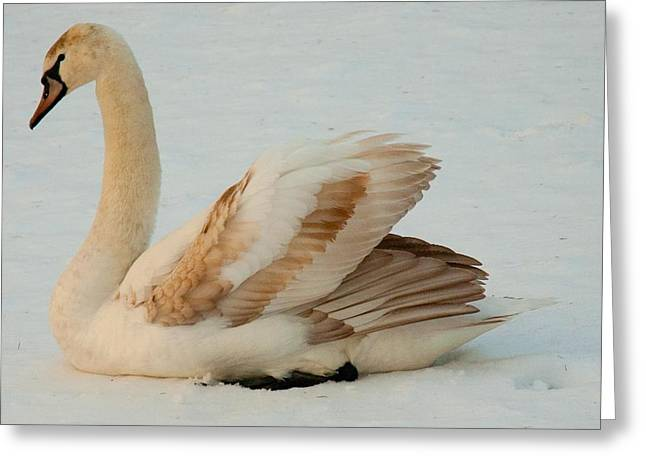 Winter Swan Song Greeting Card