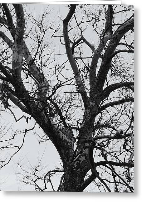Winter Sycamore Greeting Card by Daniel J Kasztelan