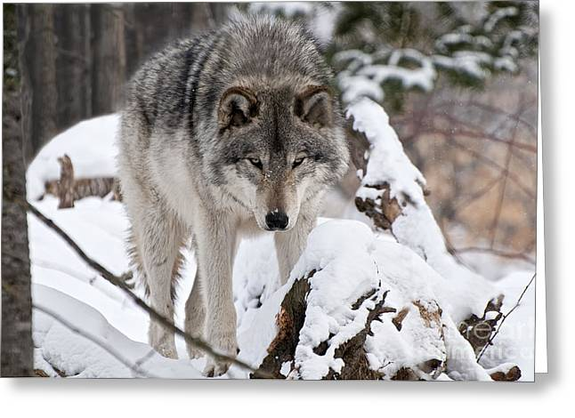 Greeting Card featuring the photograph Winter Timber Wolf by Wolves Only