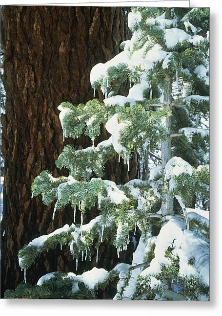 Winter Tree Sierra Nevada Mts Ca Usa Greeting Card