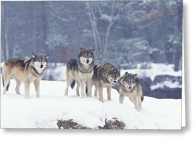 Winter Wolf Pack Greeting Card