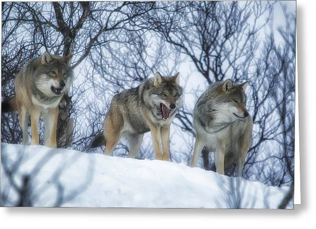 Winter Wolves Greeting Card by Wade Aiken
