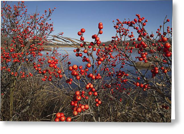 Winterberry #1 Greeting Card by Craig Bohanan