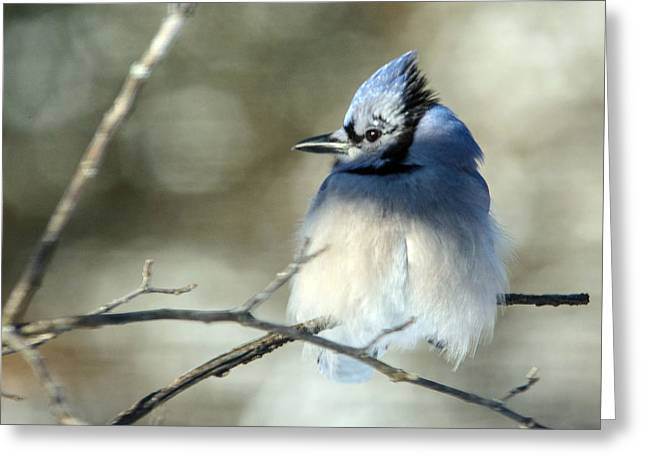 Winter's Jay Greeting Card