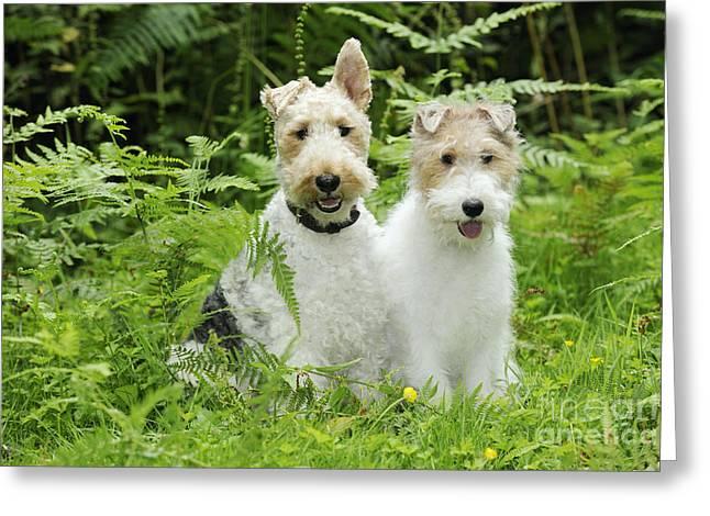Wire Fox Terriers Greeting Card by John Daniels