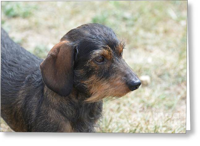 Wire Haired Daschund Greeting Card