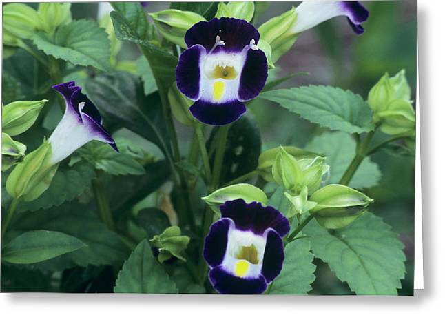Wishbone Flowers (torenia 'clown Blue') Greeting Card