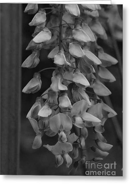 Wisteria Blooms Bw Greeting Card by Tannis  Baldwin