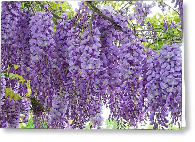 Wisteria Full Bloom Greeting Card