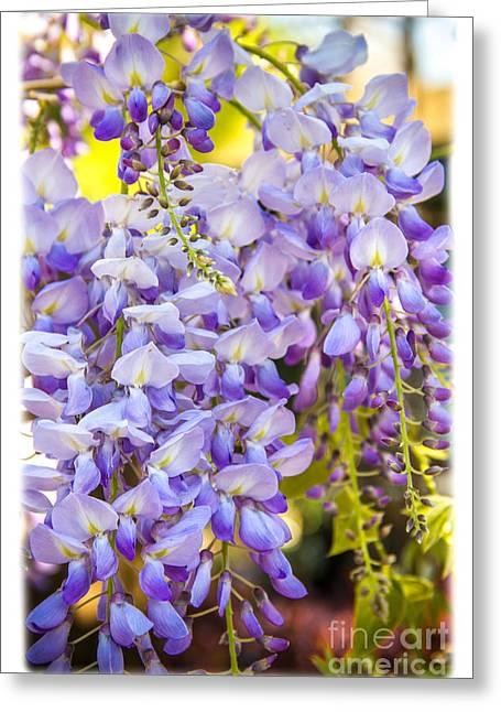 Purple Spring Wisteria, Newport Beach California Greeting Card