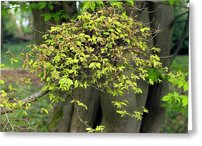 Witches' Broom On Carpinus Betulus Greeting Card by Dr Jeremy Burgess