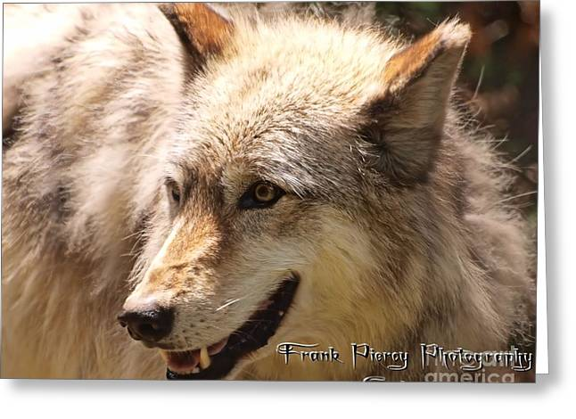 Wolf Close Up Greeting Card by Frank Piercy