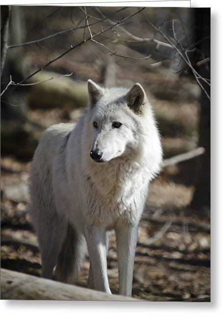 Timber Grey Wolf Greeting Card