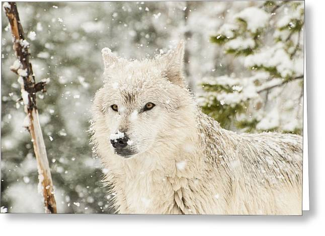 Wolf In Snow Greeting Card