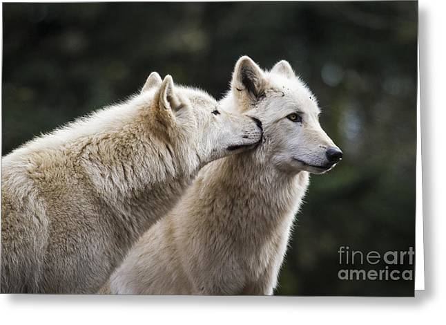 Wolf Kiss Greeting Card