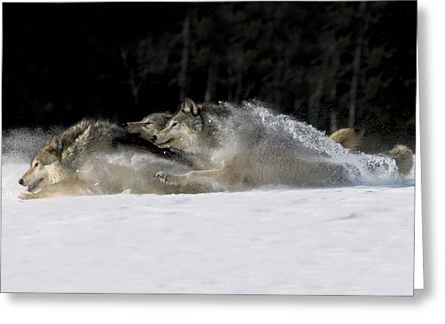 Wolf Pack Runs Greeting Card by John Hyde