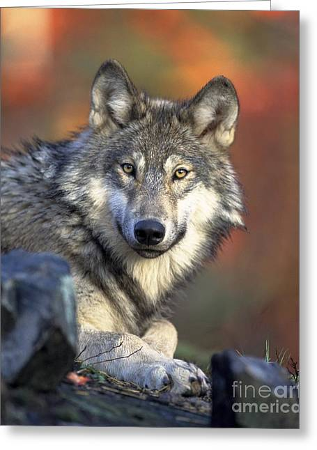 Greeting Card featuring the photograph Wolf Predator Canidae Canis Lupus Hunter by Paul Fearn
