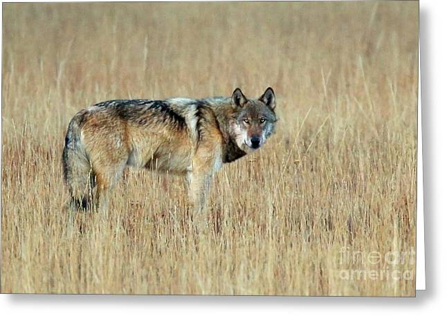 Wolf Profile Greeting Card