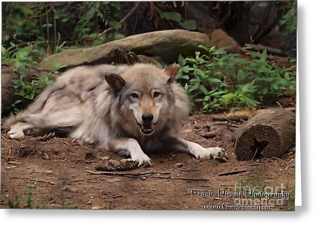Wolf Resting Greeting Card by Frank Piercy