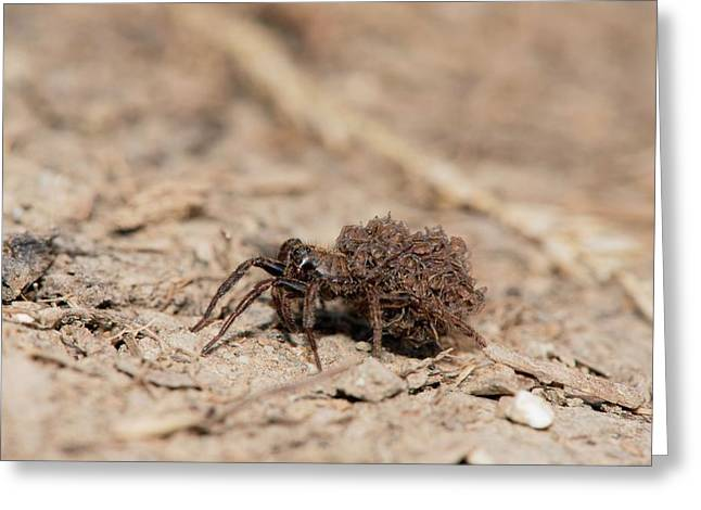 Wolf Spider Carrying Spiderlings Greeting Card by Dr. John Brackenbury