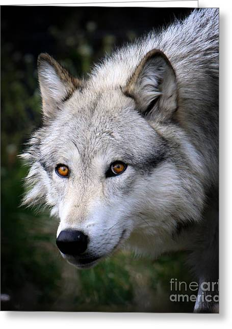 Wolf Stare Greeting Card by Steve McKinzie