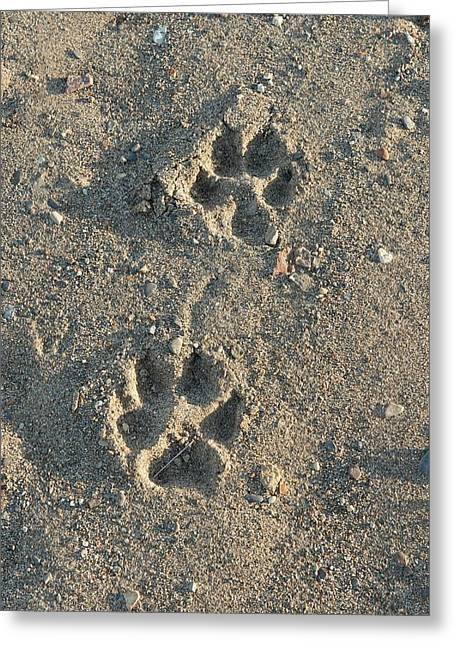 Wolf Tracks Greeting Card by Dr P. Marazzi