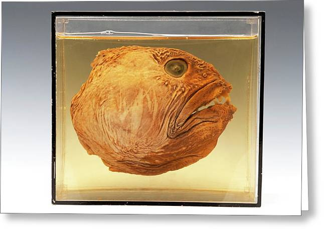 Wolffish Head Greeting Card by Ucl, Grant Museum Of Zoology
