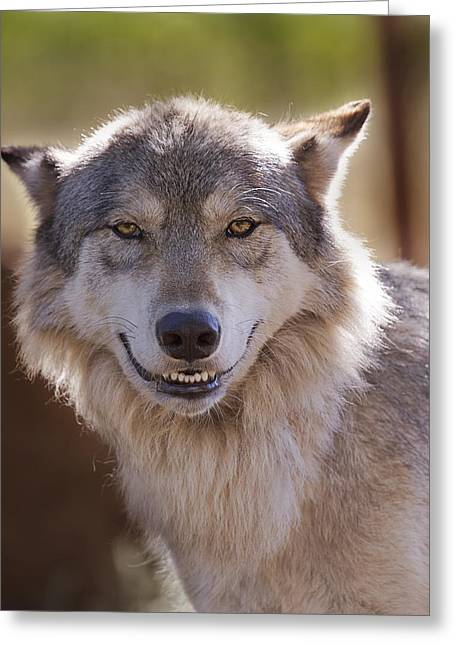 Wolf's Smile  Greeting Card