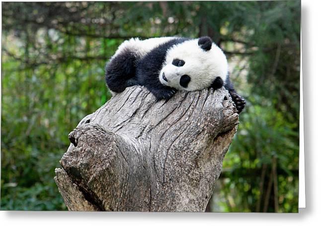 Wolong Reserve, China, Baby Panda Greeting Card by Alice Garland