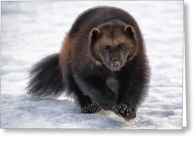 Wolverine On Snow #2 Greeting Card by Wade Aiken