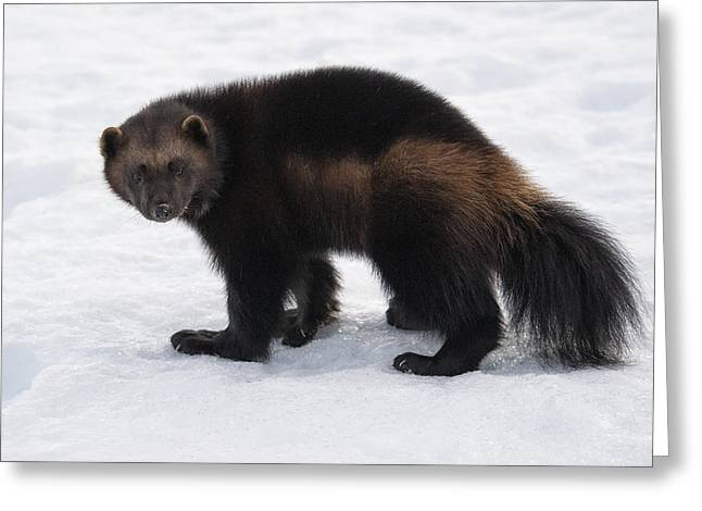 Wolverine On Snow Greeting Card by Wade Aiken