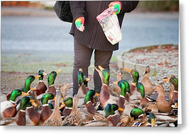 Woman Feeding Mallard Ducks Greeting Card