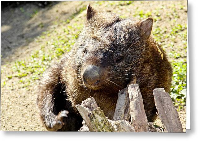 Greeting Card featuring the photograph Wombat Scratching by Debbie Cundy