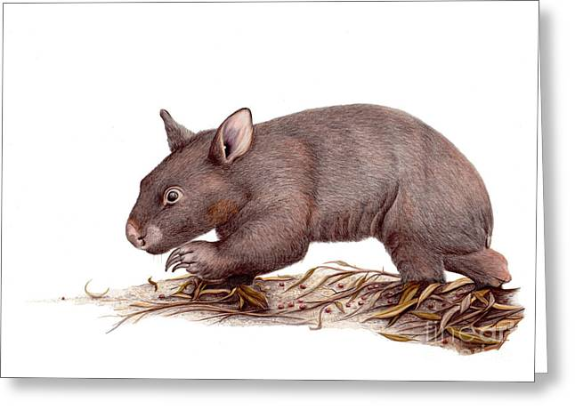 Wombat Walk Greeting Card by Susan Pope