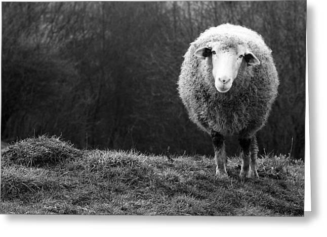 Wondering Sheep Greeting Card