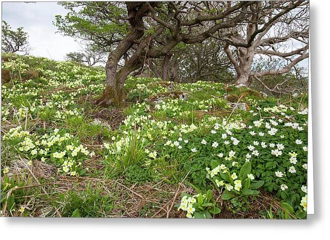 Wood Anemone And Primroses Greeting Card by Ashley Cooper