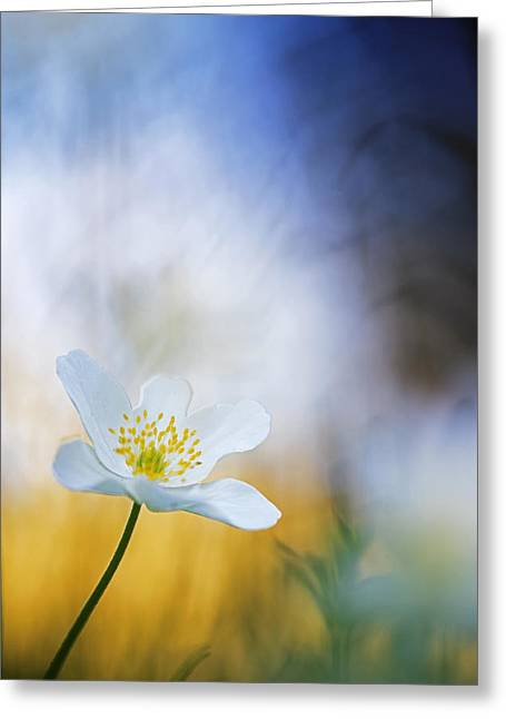 Wood Anemone Flower Switzerland Greeting Card