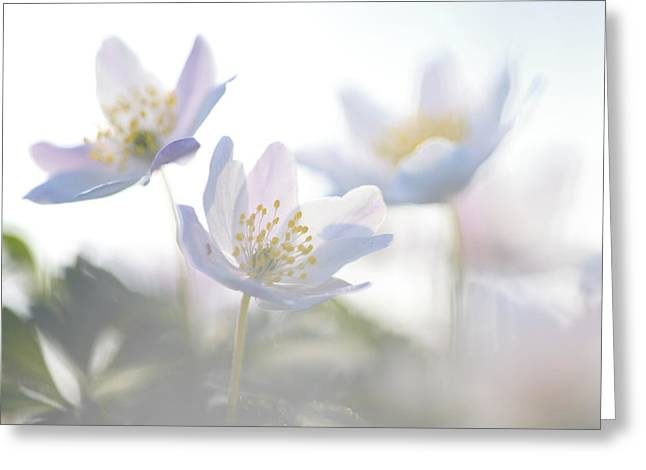 Wood Anemone Flowers Netherlands Greeting Card